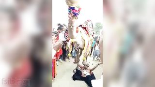 Ajab Desh Ki Gajab Tamasha  Camel engulfing milk sacks